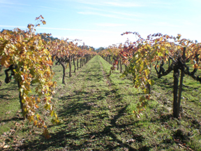 walking-in-titus-vineyards